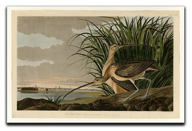 Long billed Curlew by Audubon Canvas Print or Poster - Canvas Art Rocks - 1