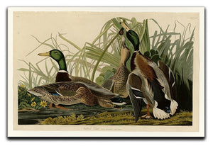 Mallard Duck by Audubon Canvas Print or Poster - Canvas Art Rocks - 1