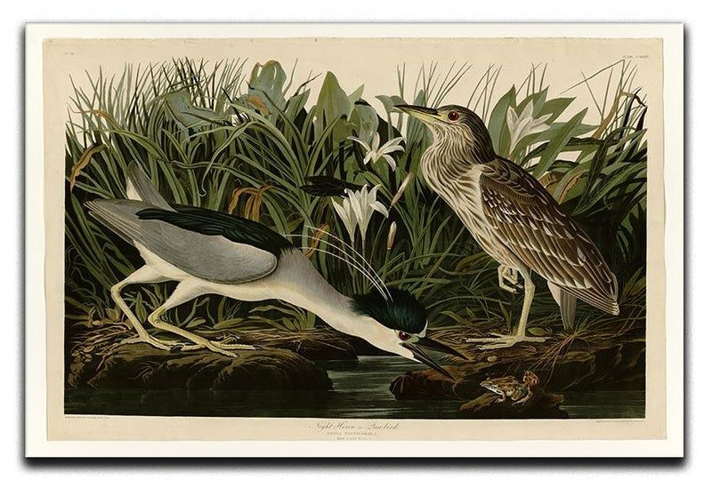 Night Heron by Audubon Canvas Print or Poster - Canvas Art Rocks - 1