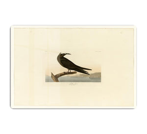 Noddy Tern by Audubon HD Metal Print - Canvas Art Rocks - 1
