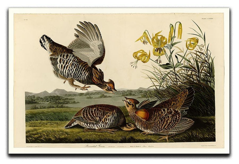 Pinnated Grouse by Audubon Canvas Print or Poster - Canvas Art Rocks - 1