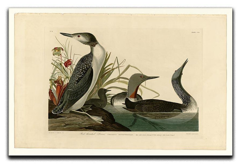 Red Throated Diver by Audubon Canvas Print or Poster - Canvas Art Rocks - 1