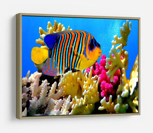 Regal angelfish HD Metal Print