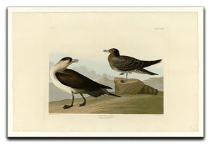 Richardsons Jager by Audubon Canvas Print or Poster - Canvas Art Rocks - 1