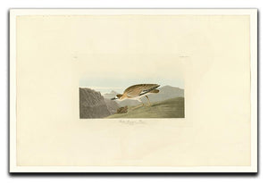 Rocky Mountain Plover by Audubon Canvas Print or Poster - Canvas Art Rocks - 1