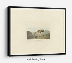 Rocky Mountain Plover by Audubon Floating Frame Canvas - Canvas Art Rocks - 1