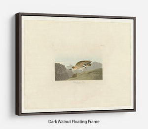 Rocky Mountain Plover by Audubon Floating Frame Canvas - Canvas Art Rocks - 5