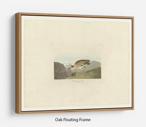 Rocky Mountain Plover by Audubon Floating Frame Canvas - Canvas Art Rocks - 9