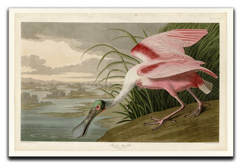 Roseate Spoonbill by Audubon Canvas Print or Poster - Canvas Art Rocks - 1
