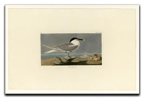 Sandwich Tern by Audubon Canvas Print or Poster - Canvas Art Rocks - 1