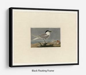 Sandwich Tern by Audubon Floating Frame Canvas - Canvas Art Rocks - 1