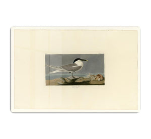 Sandwich Tern by Audubon HD Metal Print - Canvas Art Rocks - 1