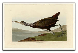 Scolopaceus Courlan by Audubon Canvas Print or Poster - Canvas Art Rocks - 1