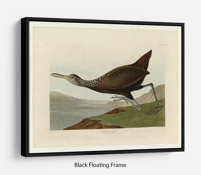 Scolopaceus Courlan by Audubon Floating Frame Canvas