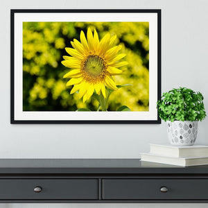 Sunflowers bloom in summer Framed Print - Canvas Art Rocks - 1