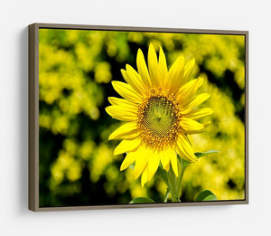 Sunflowers bloom in summer HD Metal Print