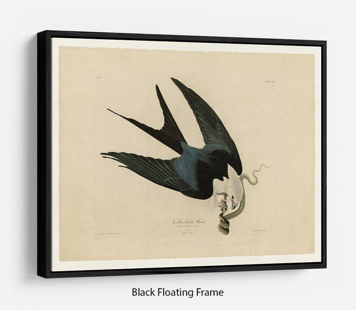 Swallow tailed Hawk by Audubon Floating Frame Canvas