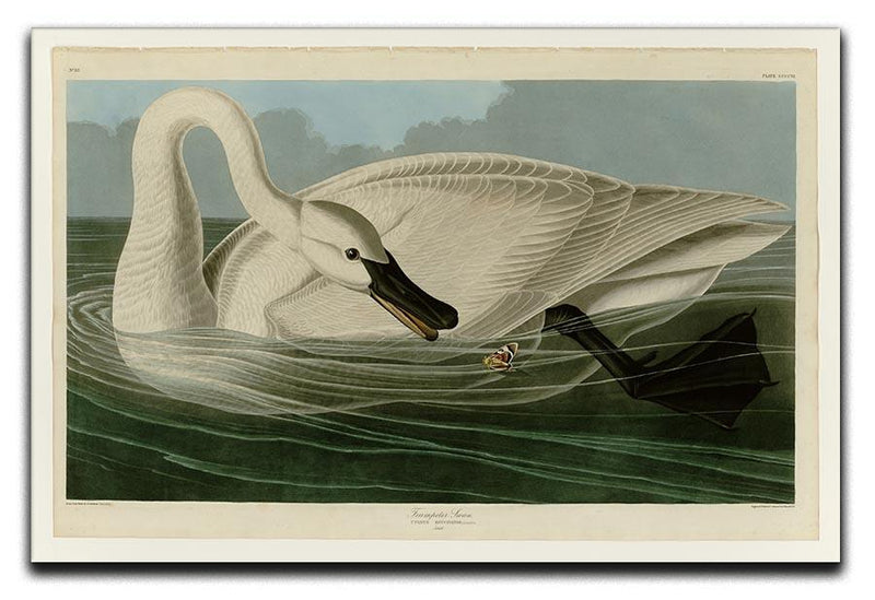 Trumpeter Swan by Audubon Canvas Print or Poster - Canvas Art Rocks - 1