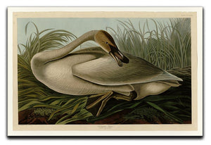 Trumpeter_Swan by Audubon Canvas Print or Poster - Canvas Art Rocks - 1