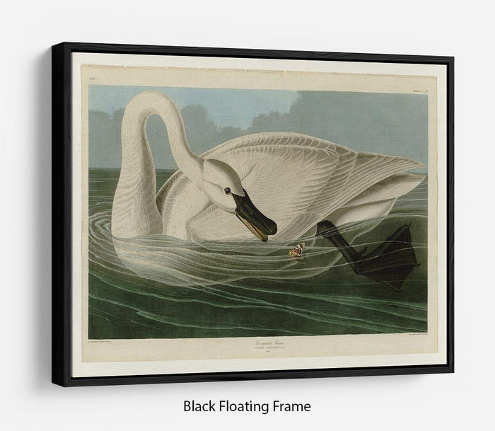 Trumpeter Swan by Audubon Floating Frame Canvas
