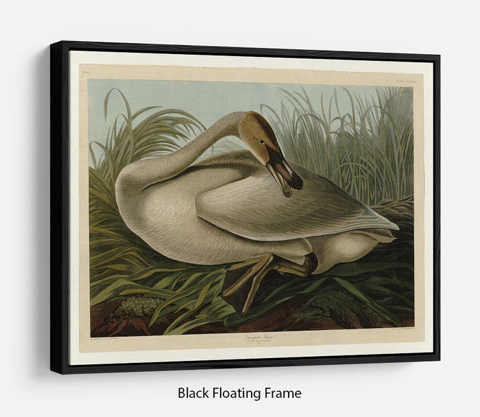 Trumpeter_Swan by Audubon Floating Frame Canvas
