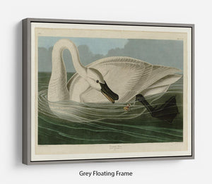 Trumpeter Swan by Audubon Floating Frame Canvas - Canvas Art Rocks - 3
