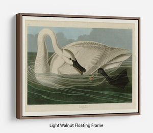 Trumpeter Swan by Audubon Floating Frame Canvas - Canvas Art Rocks 7