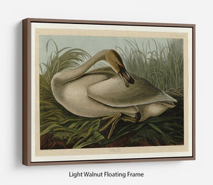 Trumpeter_Swan by Audubon Floating Frame Canvas - Canvas Art Rocks 7