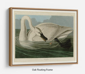 Trumpeter Swan by Audubon Floating Frame Canvas - Canvas Art Rocks - 9