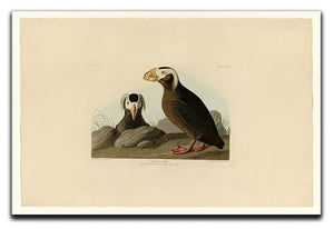 Tufted Auk by Audubon Canvas Print or Poster - Canvas Art Rocks - 1