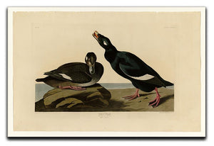 Velvet Duck by Audubon Canvas Print or Poster - Canvas Art Rocks - 1