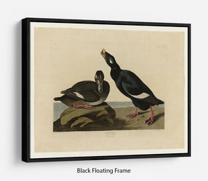 Velvet Duck by Audubon Floating Frame Canvas - Canvas Art Rocks - 1