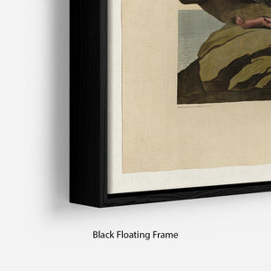 Velvet Duck by Audubon Floating Frame Canvas - Canvas Art Rocks - 2