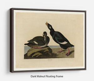 Velvet Duck by Audubon Floating Frame Canvas - Canvas Art Rocks - 5