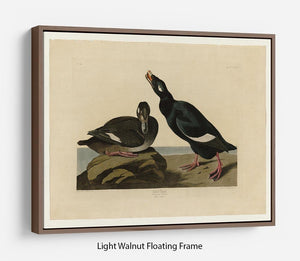 Velvet Duck by Audubon Floating Frame Canvas - Canvas Art Rocks 7