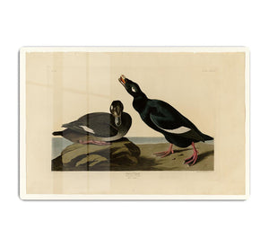 Velvet Duck by Audubon HD Metal Print - Canvas Art Rocks - 1