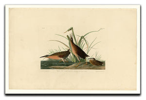 Virginia Rail by Audubon Canvas Print or Poster - Canvas Art Rocks - 1