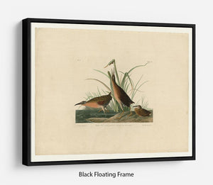 Virginia Rail by Audubon Floating Frame Canvas - Canvas Art Rocks - 1