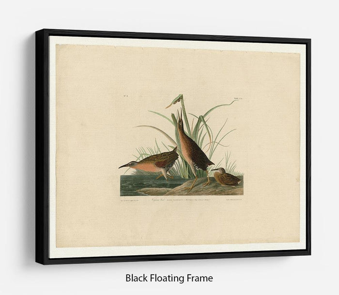 Virginia Rail by Audubon Floating Frame Canvas