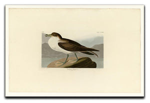 Wandering Shearwater by Audubon Canvas Print or Poster - Canvas Art Rocks - 1