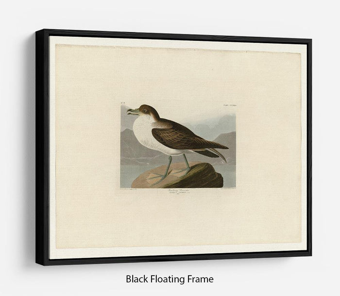 Wandering Shearwater by Audubon Floating Frame Canvas