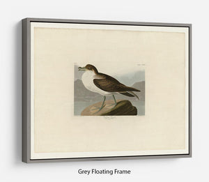 Wandering Shearwater by Audubon Floating Frame Canvas - Canvas Art Rocks - 3