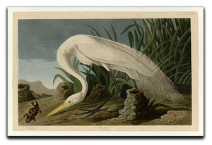 White Heron by Audubon Canvas Print or Poster - Canvas Art Rocks - 1