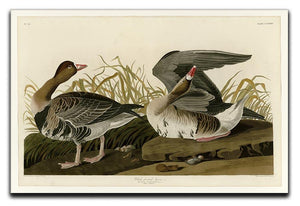 White fronted Goose by Audubon Canvas Print or Poster - Canvas Art Rocks - 1