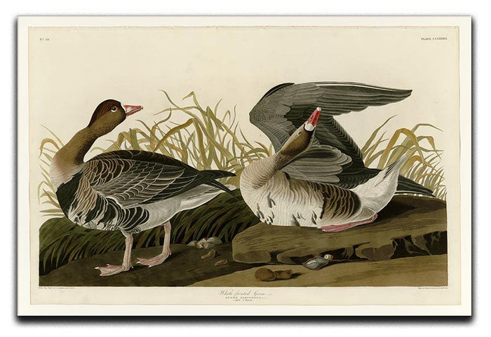 White fronted Goose by Audubon Canvas Print or Poster