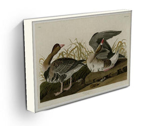 White fronted Goose by Audubon Canvas Print or Poster - Canvas Art Rocks - 3