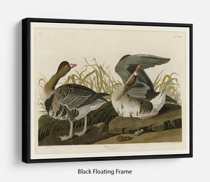 White fronted Goose by Audubon Floating Frame Canvas - Canvas Art Rocks - 1