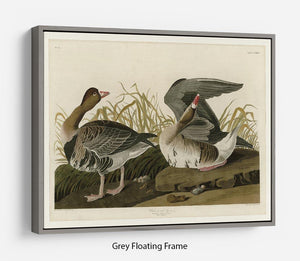 White fronted Goose by Audubon Floating Frame Canvas - Canvas Art Rocks - 3
