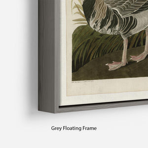 White fronted Goose by Audubon Floating Frame Canvas - Canvas Art Rocks - 4