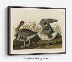 White fronted Goose by Audubon Floating Frame Canvas - Canvas Art Rocks - 5